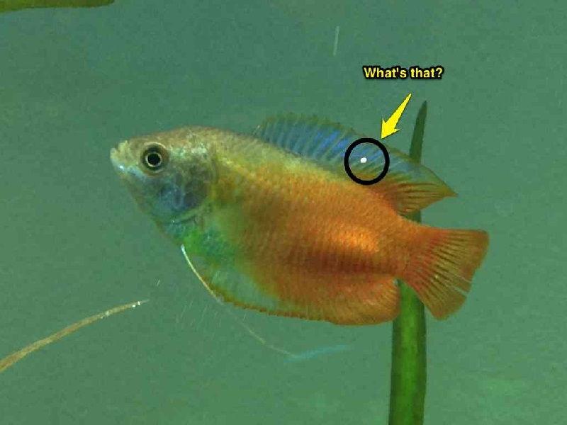 Gambar Ciri Ciri Ikan Hias sakit Atau Stres-Ikan Gourami Sakit White Spot