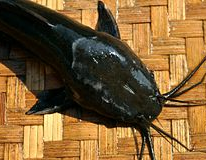 kepala ikan lele Jawa