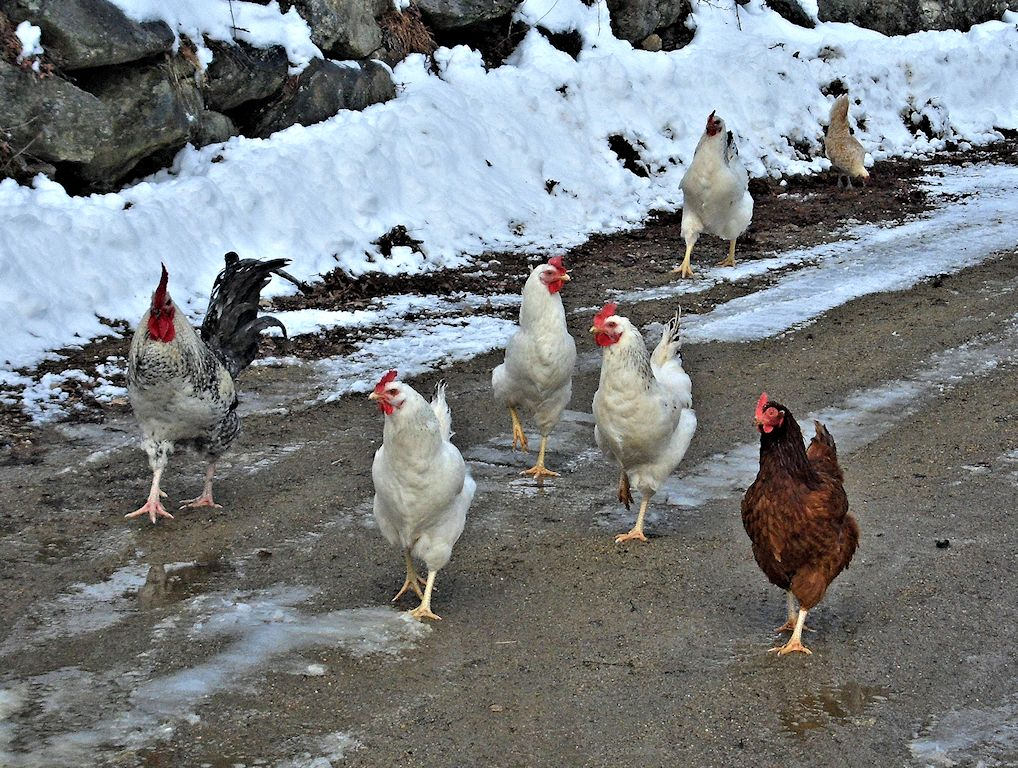 Rufus and the Hens