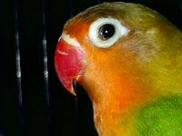 penyakit mata atau snot pada lovebird, berikut cara mencegah dan menyembuhkanya