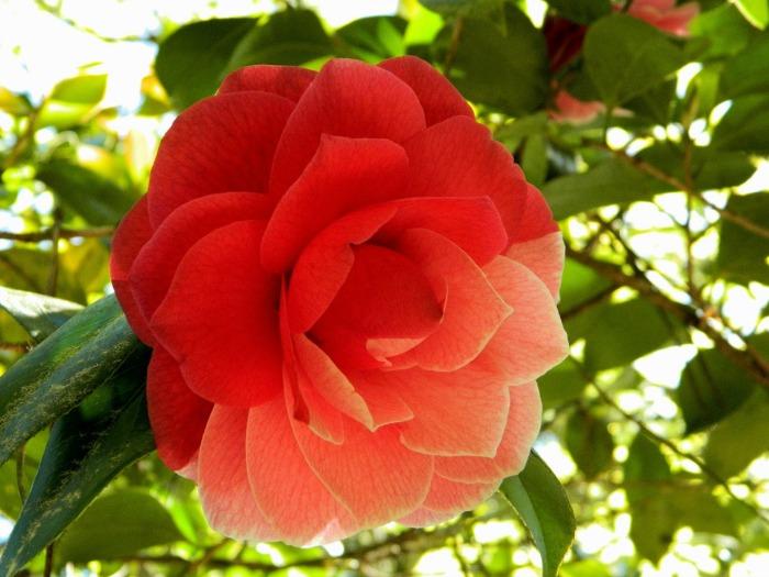 camellia augusto leal gouveia pinto mutación