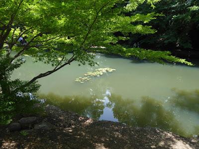 山田池公園 青もみじとスイレン池