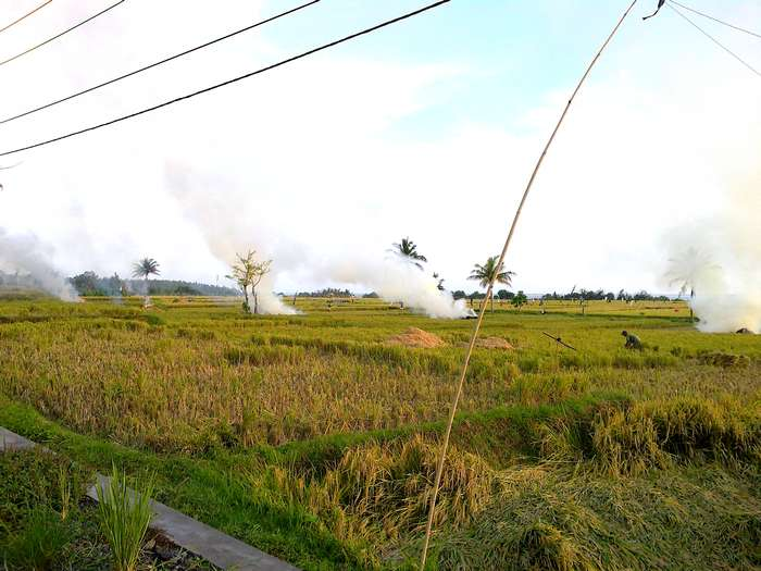 Subak, rice harvest in November