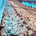 Temporal provoca mortandade de frango em Tamarana