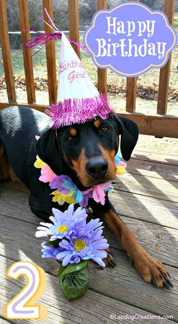 doberman mix rescue puppy second birthday