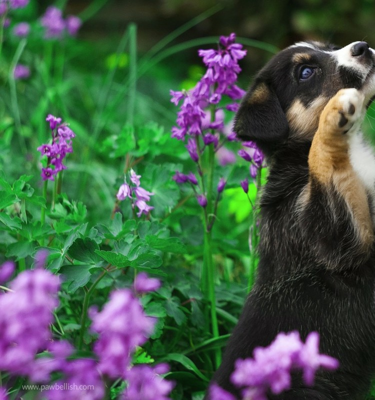 Black and tan puppy playing in the purple field of flowers