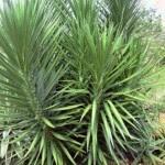 Yuca pie de elefante planta para el jardin