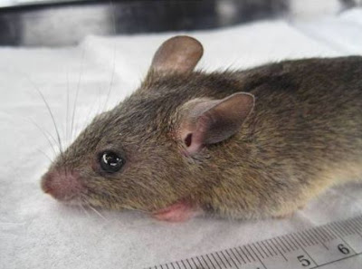 Mastomys natalensis, the natural reservoir of the Lassa fever virus