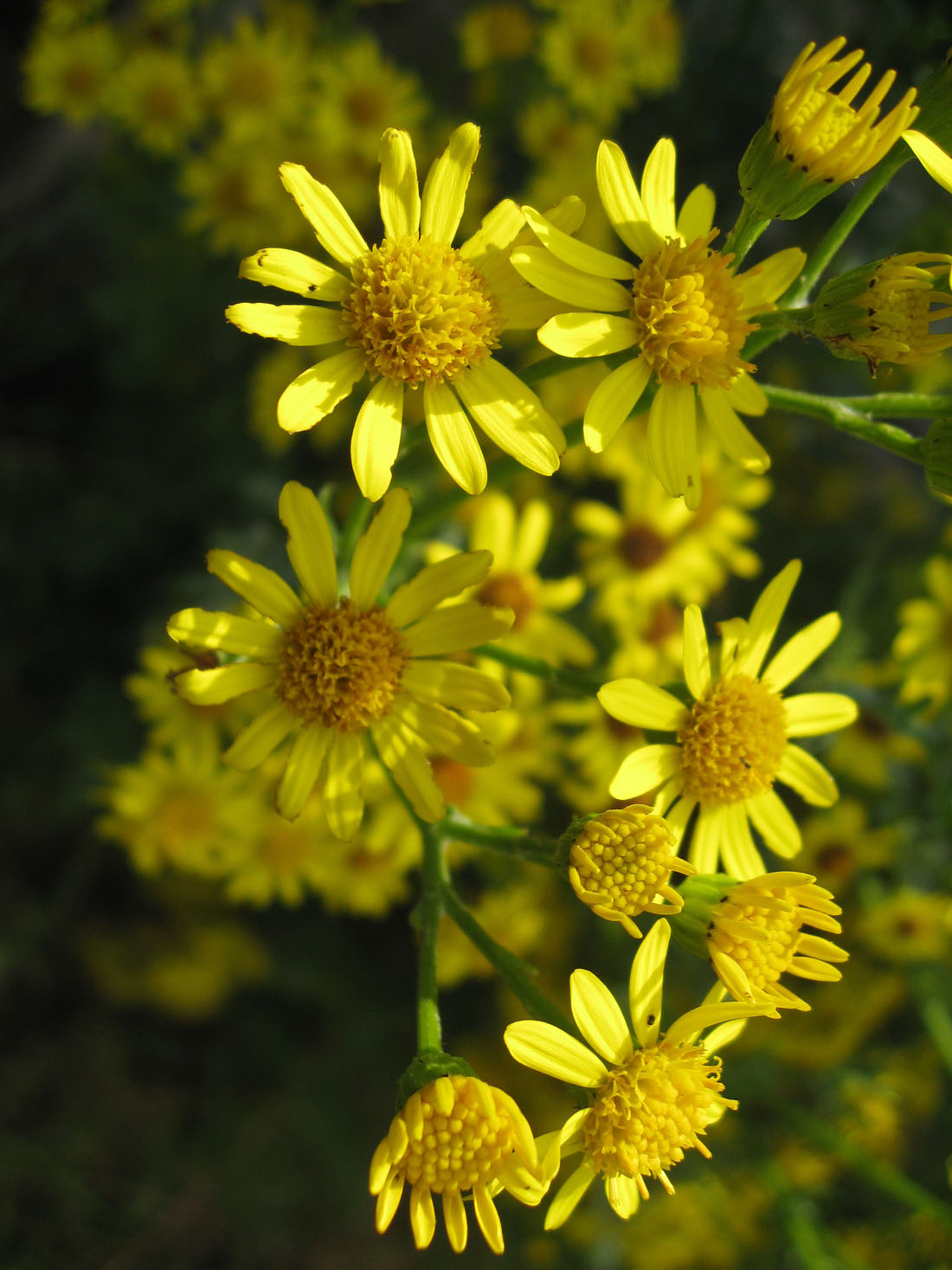 New Horse Owners: How To Recognise Ragwort