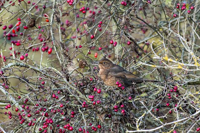 A Well Marked Female Blackbird