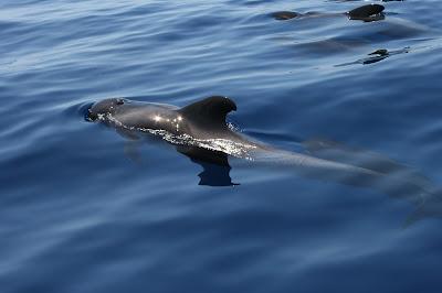 Ein Grindwal oder Pilotwal beim Whale Watching © Cananrian Sea
