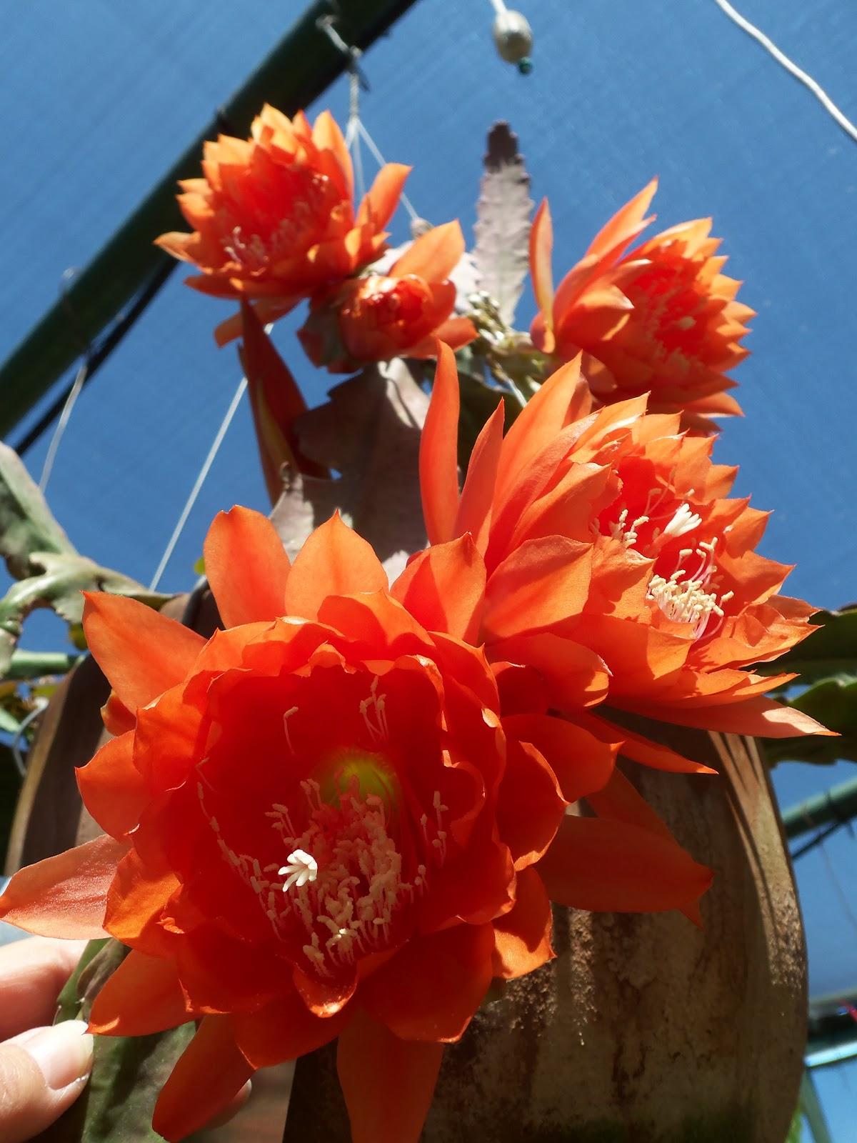 The Epiphyllum Garden Sdes Collection Safari Park