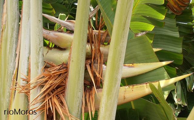 Flores del árbol del Viajero Ravenala madagascariensis