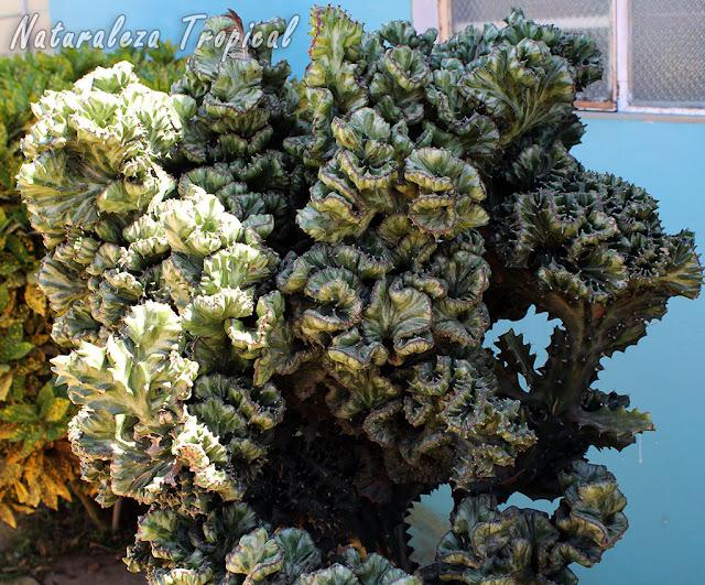 """La especie Euphorbia lactea """"cristata"""", Cardón"""