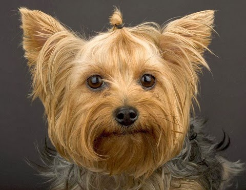 yorkshire terrier information dog breed picture yorkshire terrier dog pictures and 9285