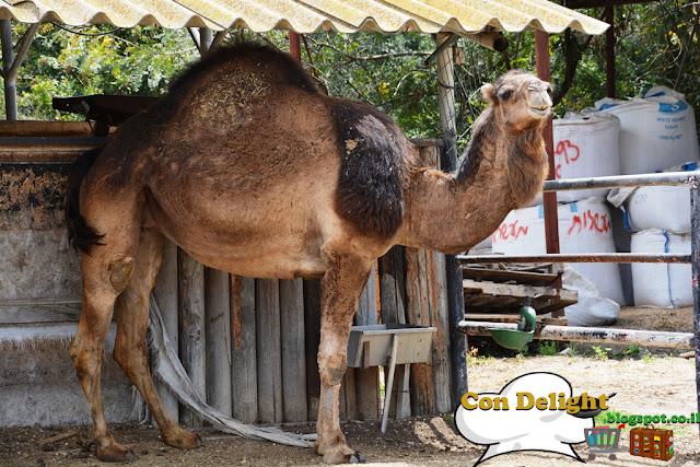 גמל camel