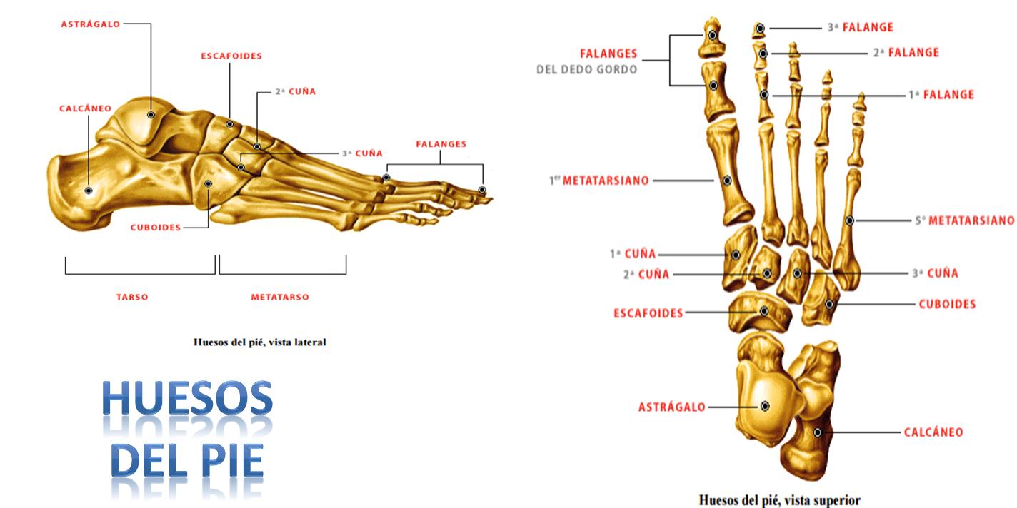 Magnífico Pies Sistema Esquelético Fotos - Anatomía de Las ...