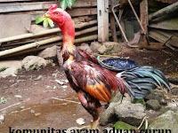 Mengungkap Ayam Aduan Dari Negara Dengan Julukan Bunga Mawar