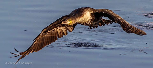 Low Flying Cormorant Milnerton Lagoon / Woodbridge Island, Cape Town