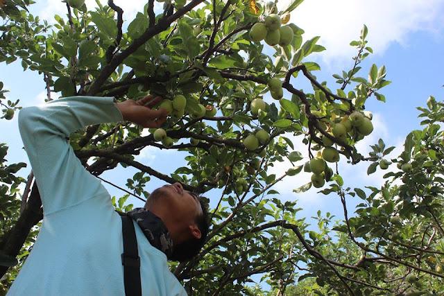Perkebunan Apel Berbuah Lebat di Daerah Kota Batu Malang, Jawa Timur Indonesia