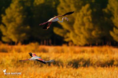 Llegada de dos flamencos (Phoenicopterus roseus) adultos a la laguna al atardecer.