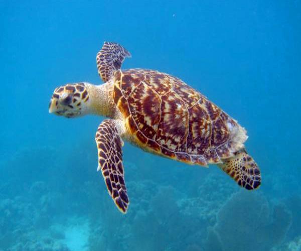 tartaruga-de-pente-Eretmochelys-imbricata