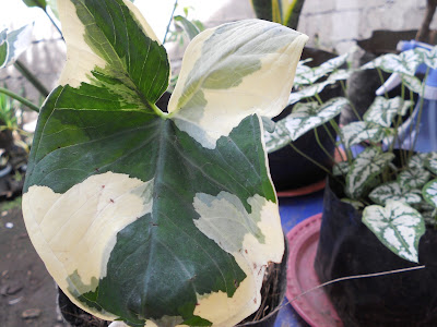 green and white caladium