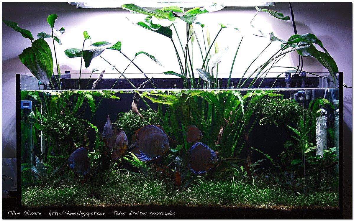 Cây thủy sinh Lan nước trong một hồ nuôi cá dĩa