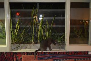 Gata Celeste Ludovica en la ventana