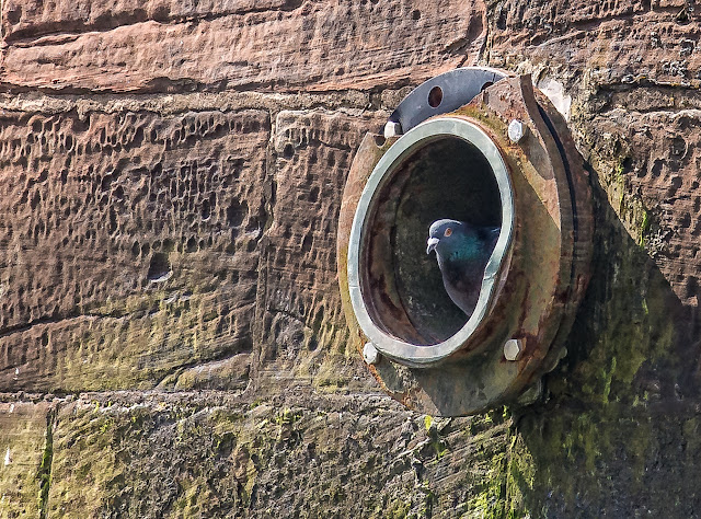Photo of one of the pigeons sitting in the drainage hole