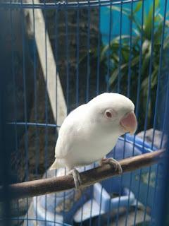Cara Merawat Lovebird Paruh Putih