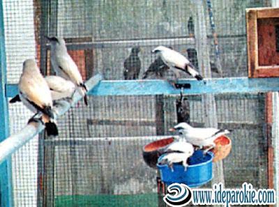 Budidaya dan Pelihara Burung Jalak Bali Paling Cepat Berhasil
