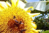 Manfaat Biji Bunga Matahari Untuk Kesehatan
