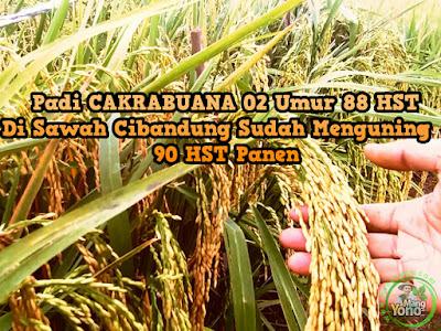 Tanaman padi CAKRABUANA 02