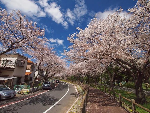 水元公園 桜並木