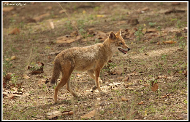 Jackal, Kanha National Park