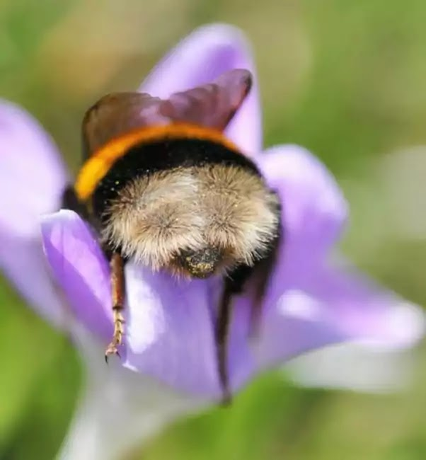 Cute Pictures Of Bumblebees That Fell Asleep Inside Flowers