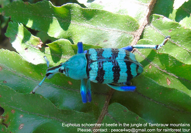 rainforest wildlife watching tour in Indonesia - eupholus beetle