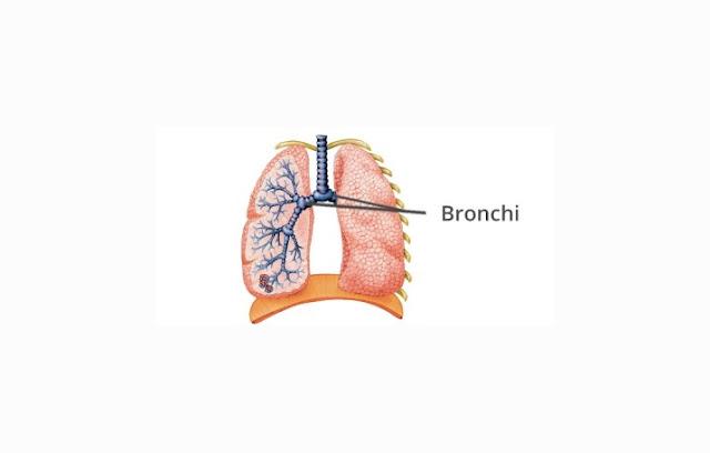 Pengertian, Struktur dan Fungsi Bronkus