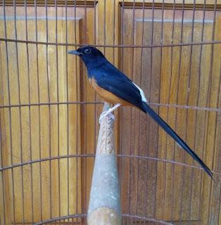 Cara Akurat Untuk Terapi Supaya Burung Murai Batu Mengeluarkan Suara Tembakan Pada Saat Di Lombakan