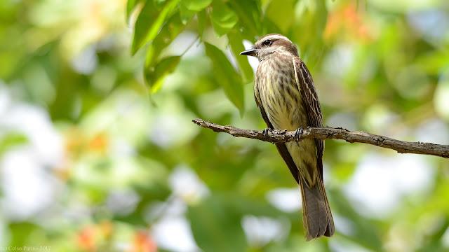 Variegated Flycatcher Empidonomus varius varius Peitica Tuquito rayado