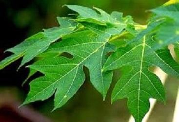 manfaat daun pepaya,daun pepaya,manfaat air rebusan daun pepaya,manfaat,manfaat daun pepaya jepang,manfaat daun pepaya bagi wanita,manfaat daun pepaya bagi ternak,pepaya,khasiat daun pepaya,manfaat daun singkong,manfaat sari daun pepaya,inilah manfaat daun pepaya,manfaat daun pepaya gantung,apa saja manfaat daun pepaya,apa manfaat daun pepaya jepang,manfaat luar biasa daun pepaya