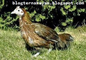 Cara Mengobati Penyakit Coccidiois Pada Ayam Ternak Ayam