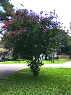 Laurel's Crepe Myrtle tree, blooming in two colors