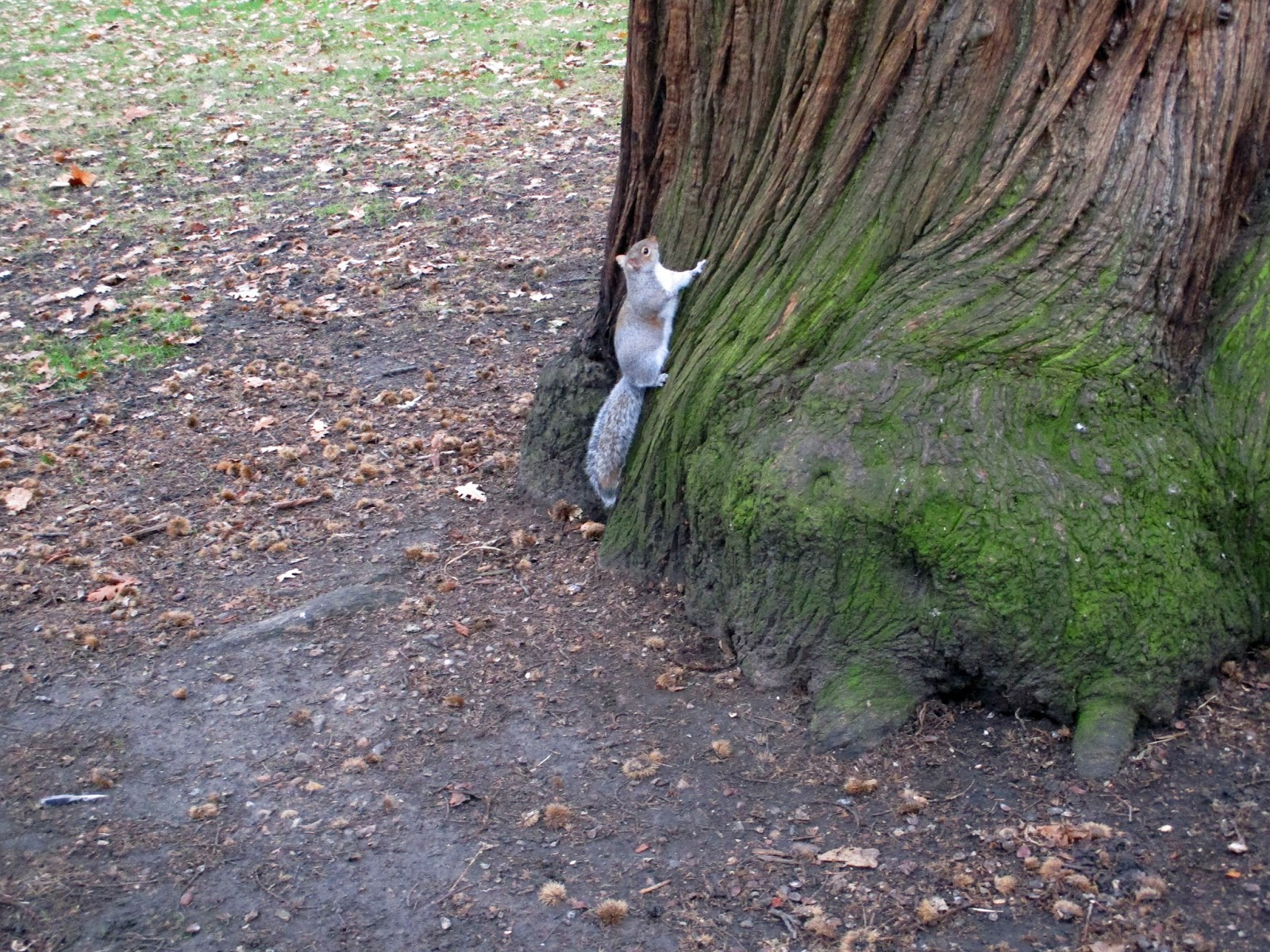 écureuil à Hyde Park - squirrel in Hyde Park