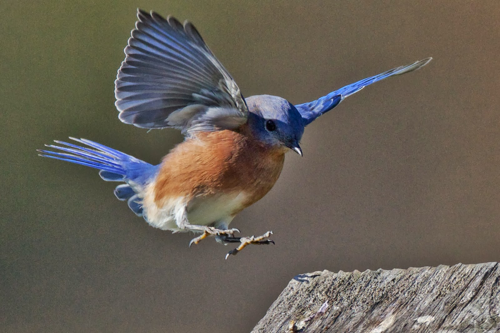 Feather Tailed Stories: Eastern Bluebird, Havenwoods State ...