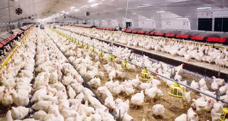 9 Tips Cara Memulai Bisnis Peternakan Ayam Agar Menguntugkan