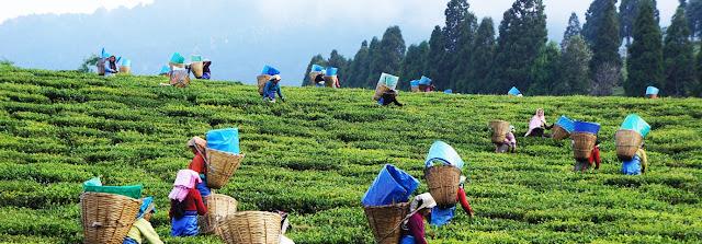 Darjeeling tea garden workers