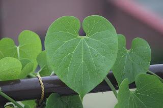 Giloy or Tinospora Cordifolia