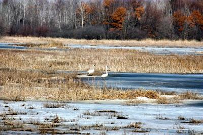trumpeter swans,  Spring 2010